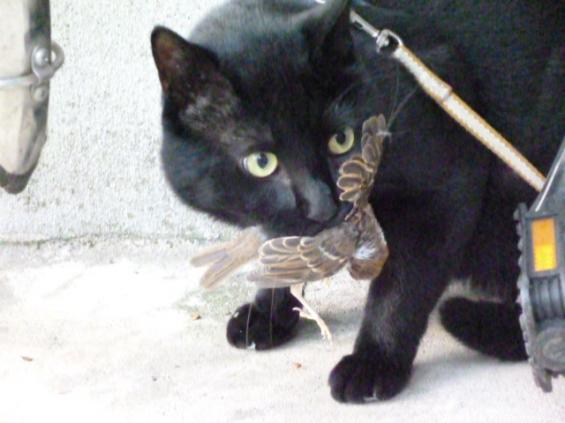 猫画像|すずめをくわえてどや顔の黒猫